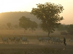 Cameroon-cattle-4x3.jpg